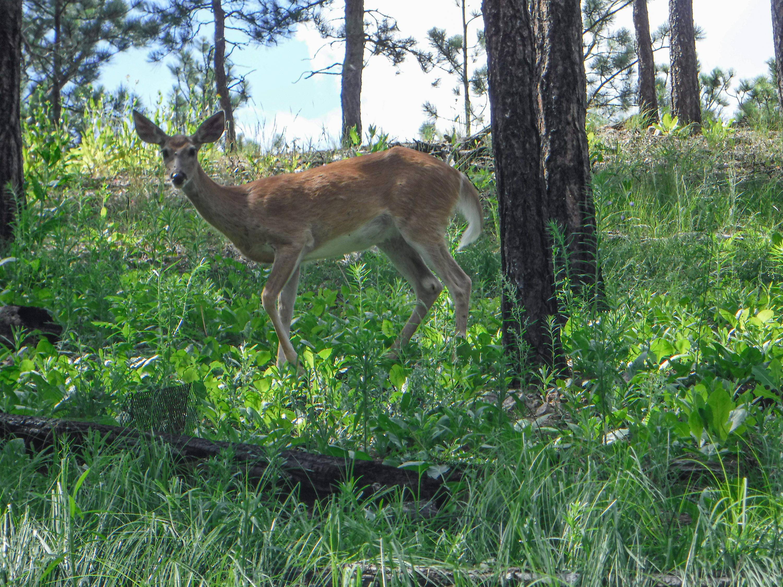 Deer (photo credit: Nate)