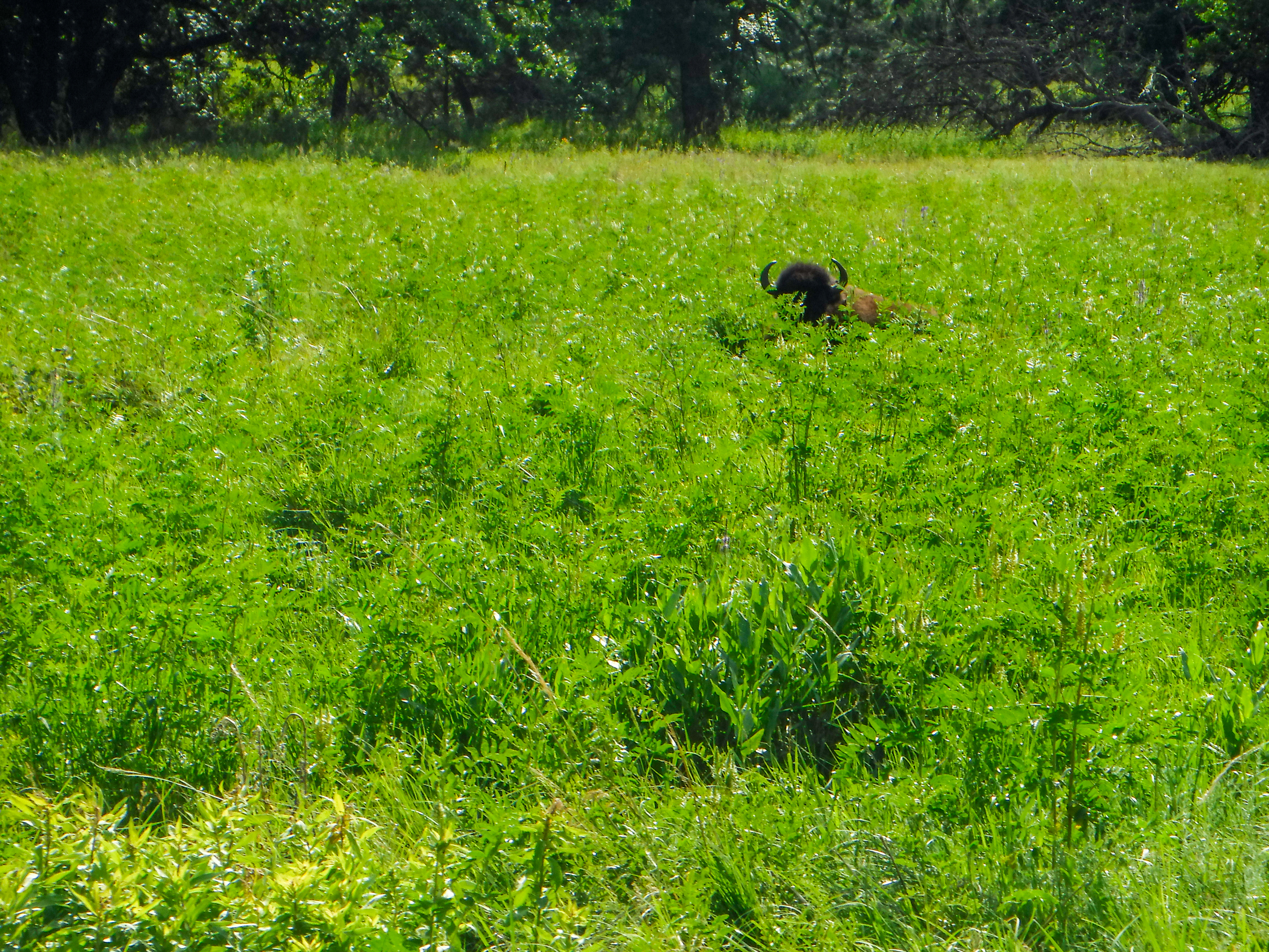 Bison in Tall Grass (photo credit: Nate)