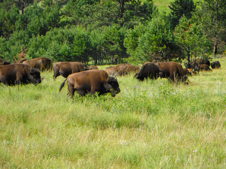 Bison (photo credit: Nate)