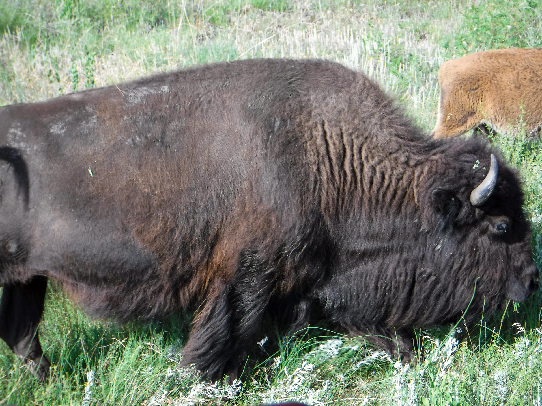 Bison Alongside Our Car (photo credit: Nate)